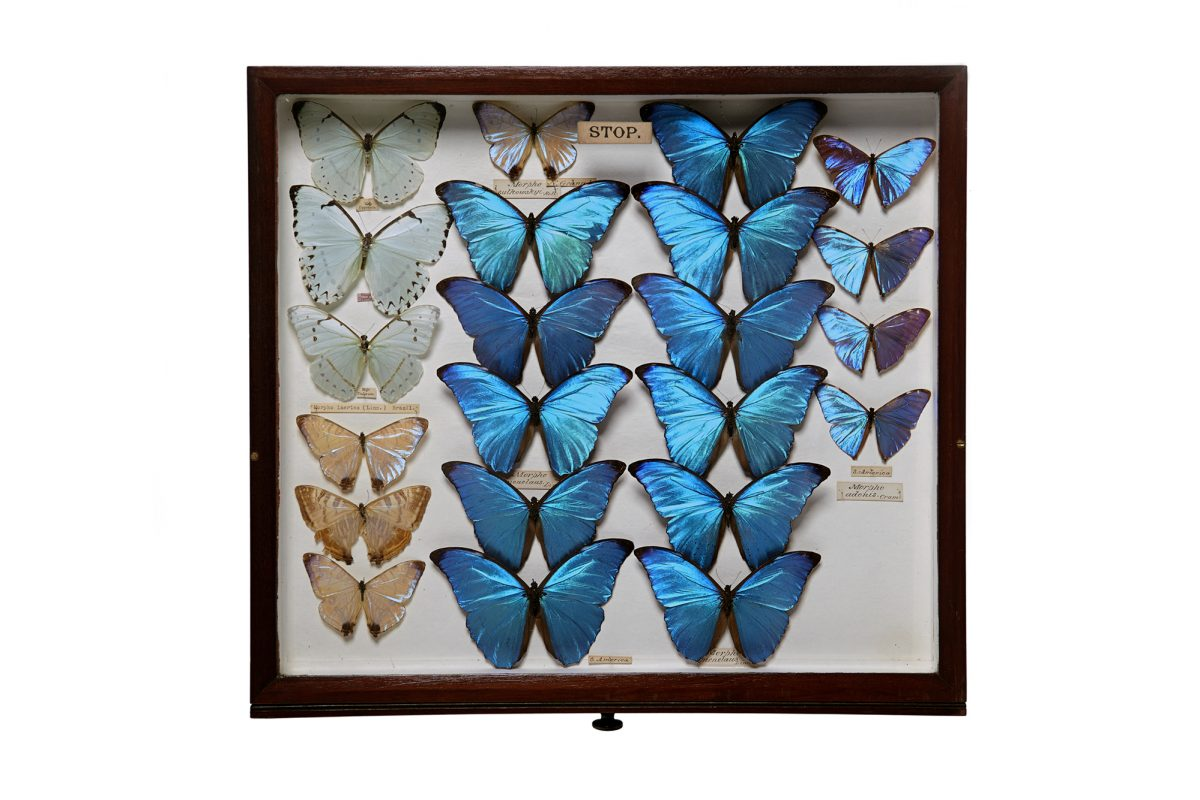 Assortment of blue butterflies in display case