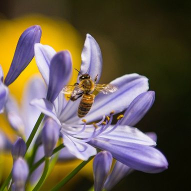 A bee on a purple flower
