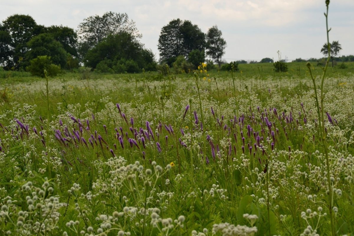 A group of small purple flowers in a grasses green and white meadow with some small trees in the background