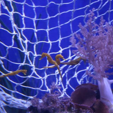 A few yellow seahorses are hanging onto a white net in a tank with corals