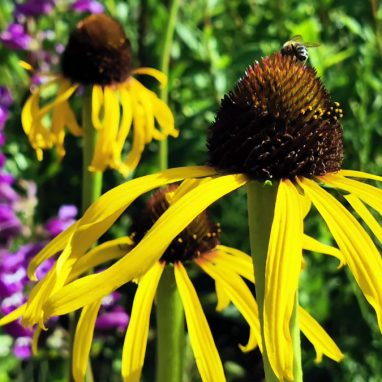 Two yellow cone flowers with many thin yellow petals around a cone at the centre, in a flower bed
