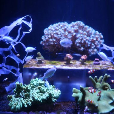small orange and white fishes are swimming in a tank with corals and plastic wrappers