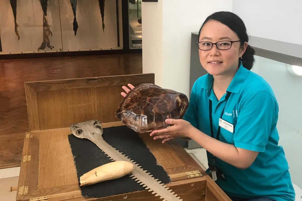 A woman in a blue horniman shirt sits behind a wooden table holding a turtle shell. In front of her is a nose rostra of a sawfish