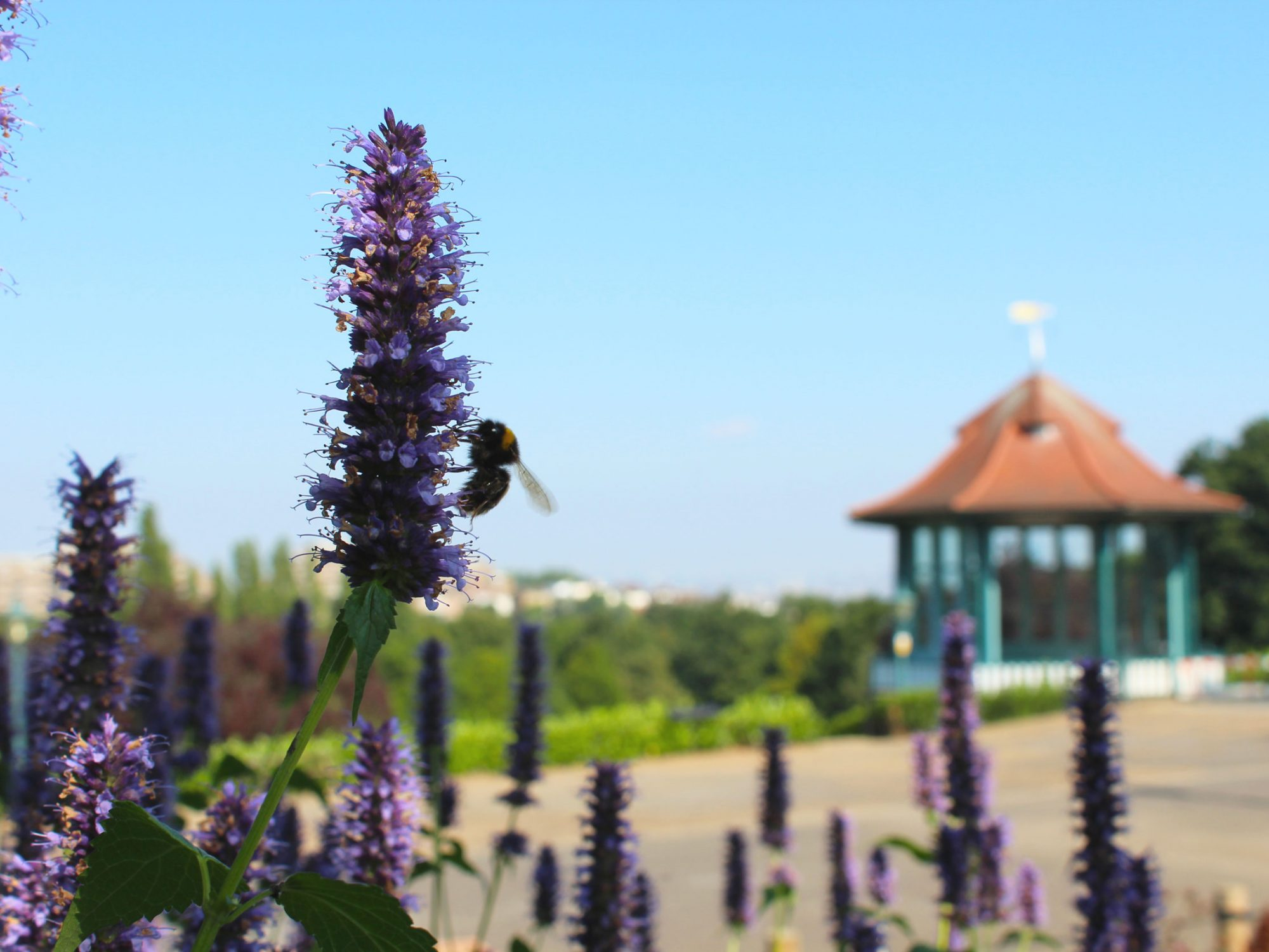 A close up of a stalk of tiny purple flowers with a bee on them. In the background is a bandstand in a garden with a blue sky