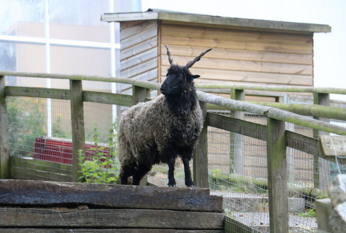 A grey and black sheep stands on top of a wooden structure in an outside paddock. The sheep has two long horns which stick into the air, and twist in a spiral shape