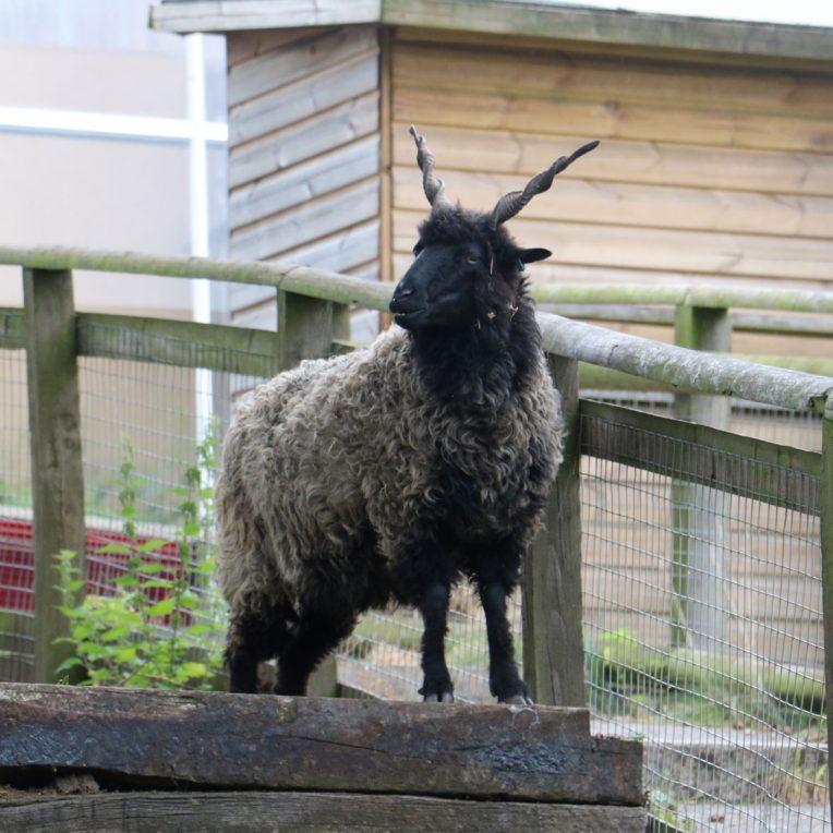 A grey and black sheep