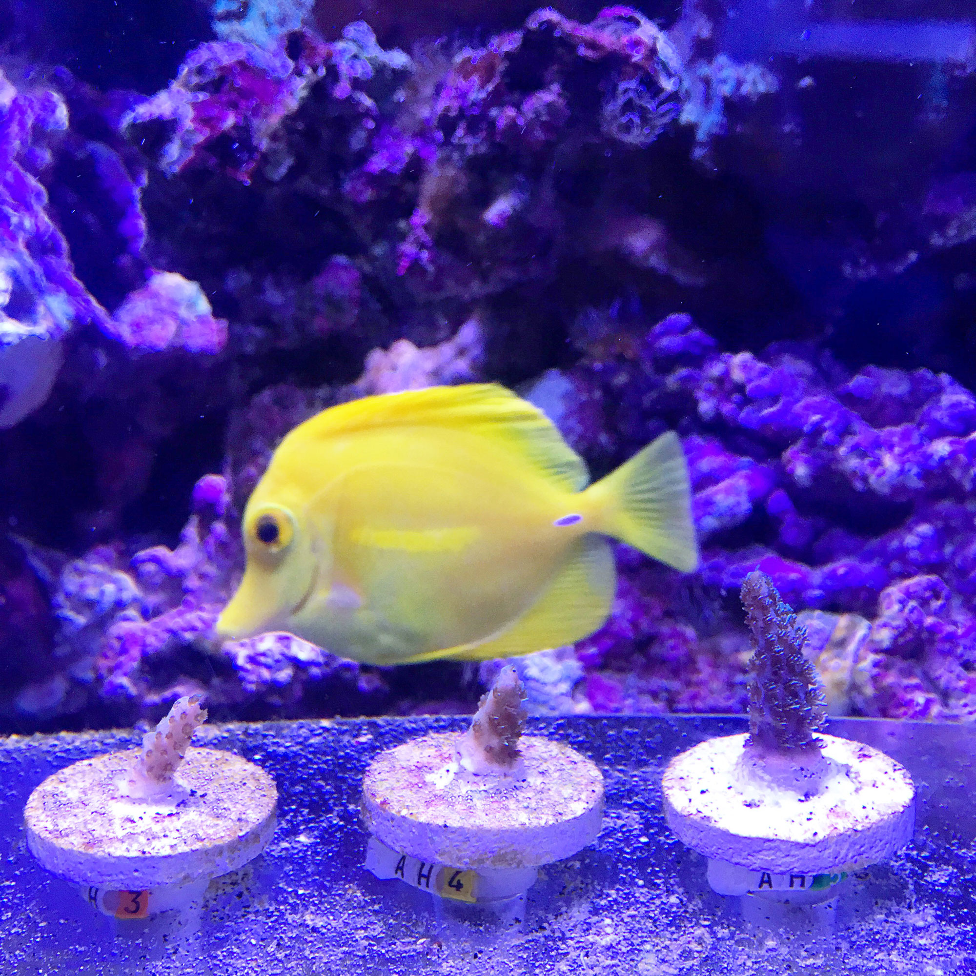 A yellow fish swims past three small coral stubs on circular plates, in a blue tinted tank