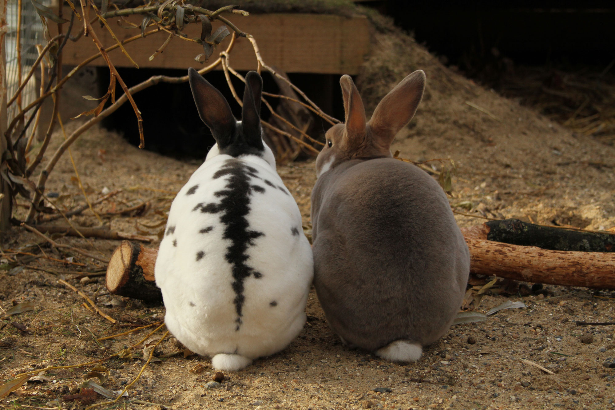 Two rabbits sit with their backs to the camera in an outdoor hutch. The one to the left is white with grey patches and the one to the right is grey all over