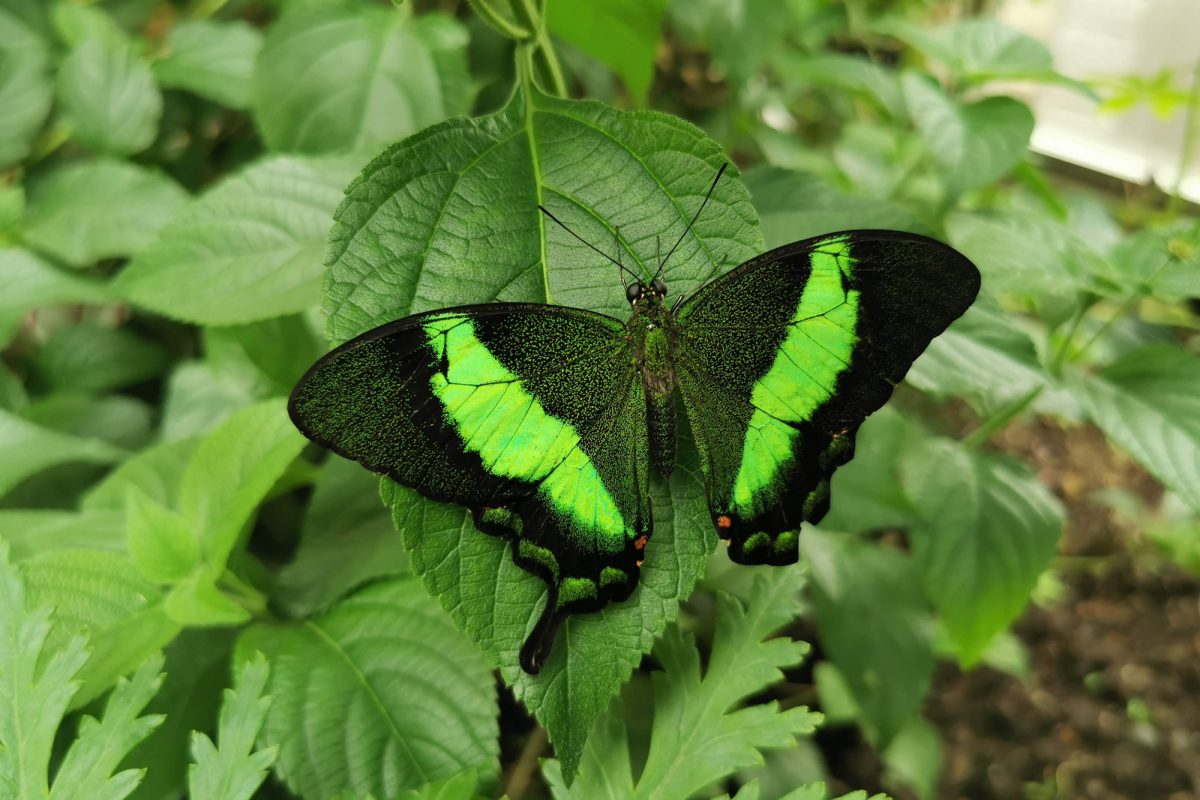 A black and vivid green butterfly