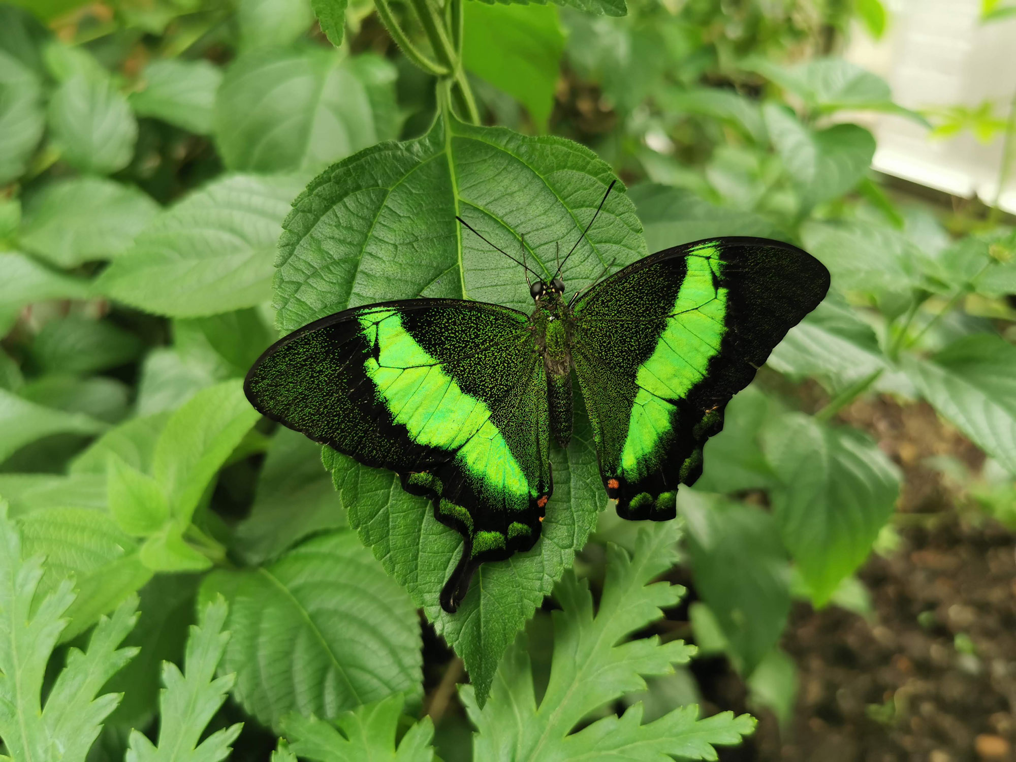 A black and vivid green butterfly is sitting on some green leaves with its wings open