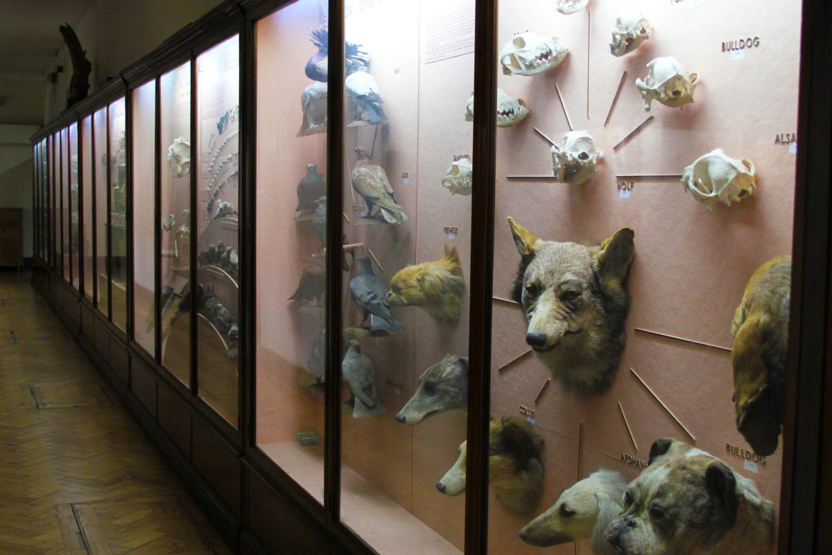 A series of display cases along a wall are seen side on, with the closest including a wolf and many dogs heads sticking out from the wall. The background of the cases is pink