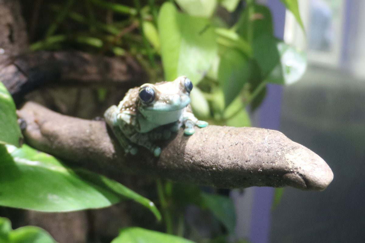 A pale green toad sits on a wooden branch facing the camera, with leafy foliage in the background