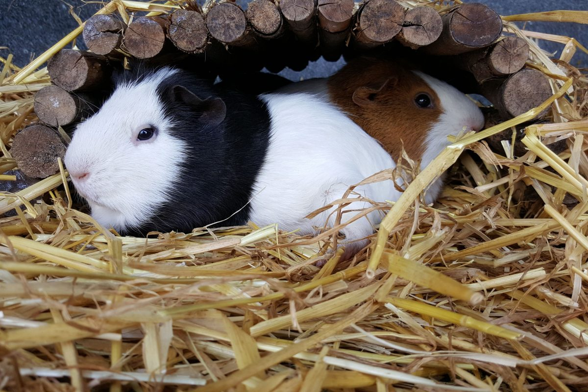 Two Guinea Pigs are sat under a wooden rounded shelter on top of lots of hay. One is looking to the lfet and is black and white with a white face, the other is looking to the left, slightly behind the black and white one, and is tawny brown and white.