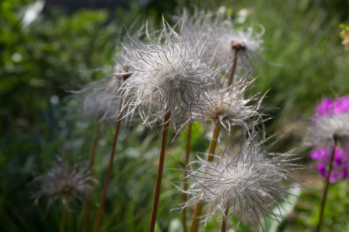 A wispy seedhead with many white tiny strands attached, before they are blown away in a breeze to pollinate.