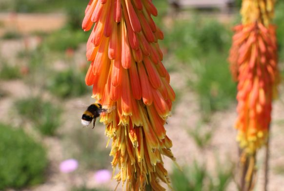 A bee hovers by a tall orange spike of flower made up of lots of tiny flowers. There is gravel and more plants in the background