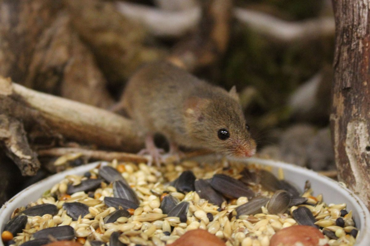 A small brown mouse sits on the edge of a tray of seeds and nuts. There are brown twigs in the background.