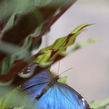 The camera looks through green leaves to an iridescent blue butterfly with it's wings open.