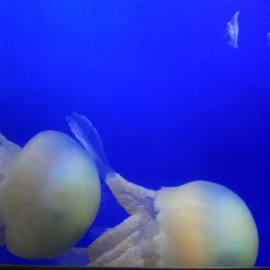 A deep blue tank with rounded edges with large dome shaped jellyfish in it. There are two very large jellyfish and some very small jellyfish floating
