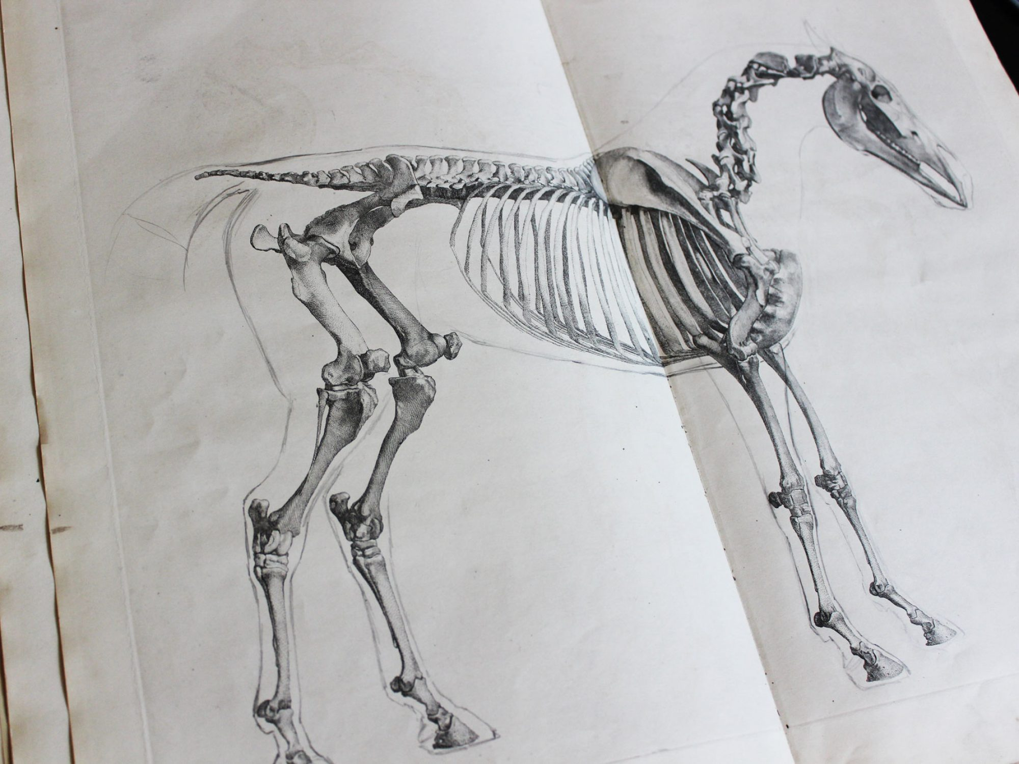 An illustration across two pages of the skeleton of a horse.