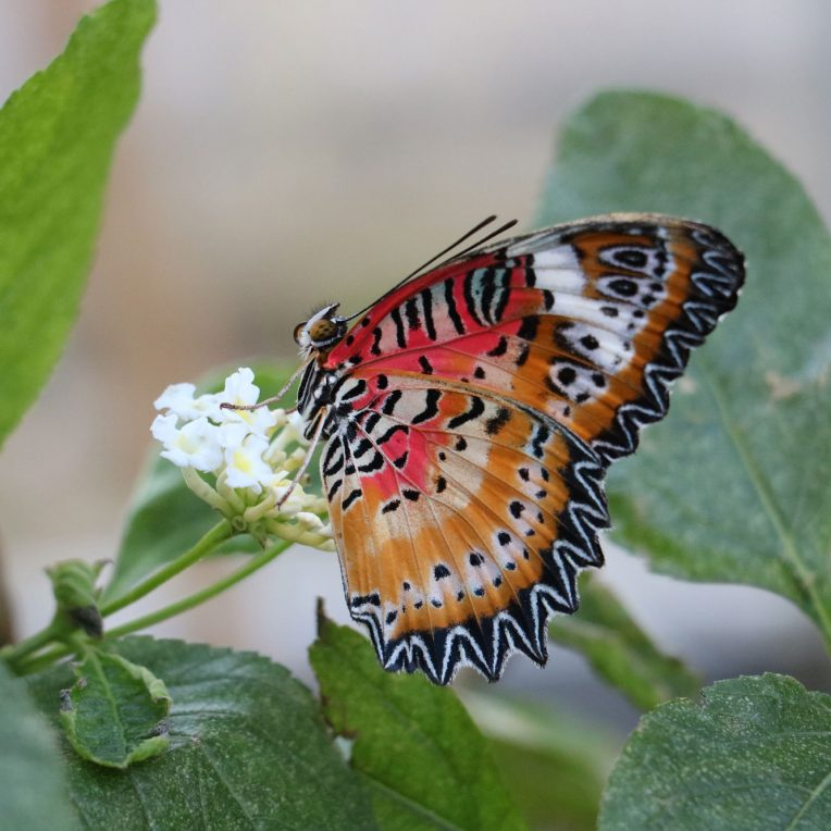 A brightly coloured butterfly feeds on a small white flower - its wings are red, pink, orange, yellow, black and white