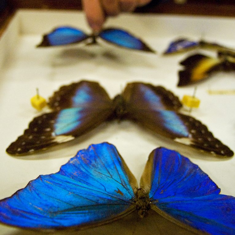 A tray with bright blue butterflies pinned to it, and a person's hand is touching the one furthest from camera