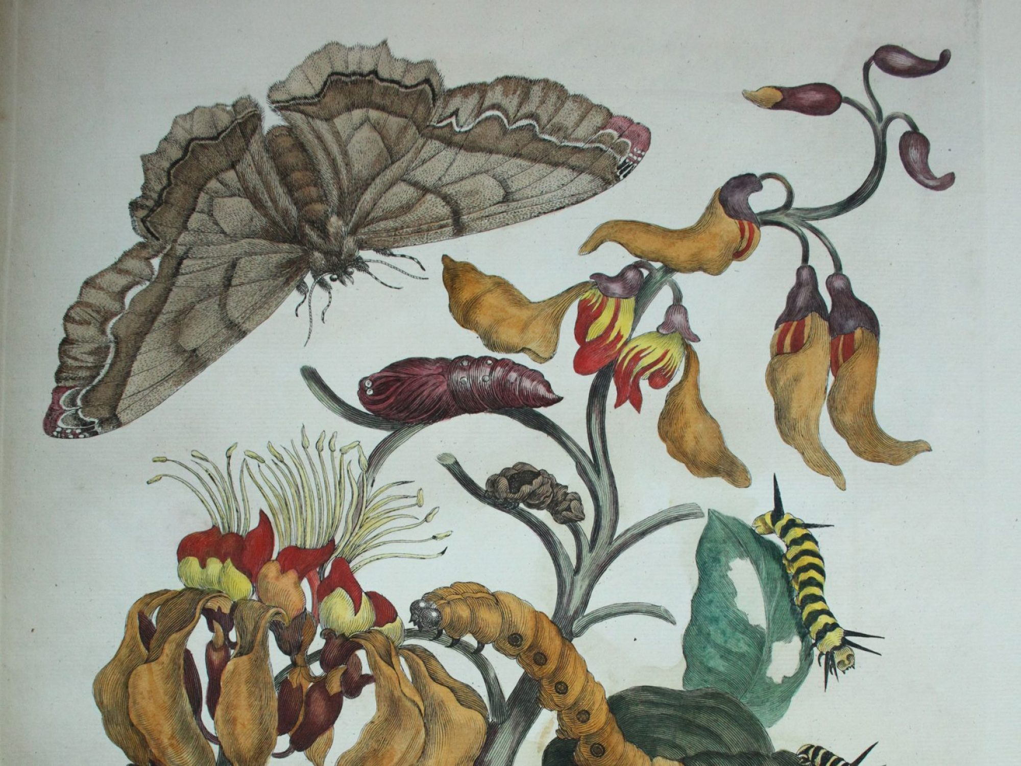 Illustrations of moth, butterflies, caterpillars, and pupae