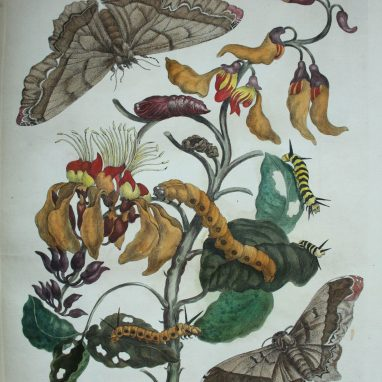 A page from a book with coloured and detailed illustrations of insects an a flower. The insects include a moth, butterflies, caterpillars, and pupae