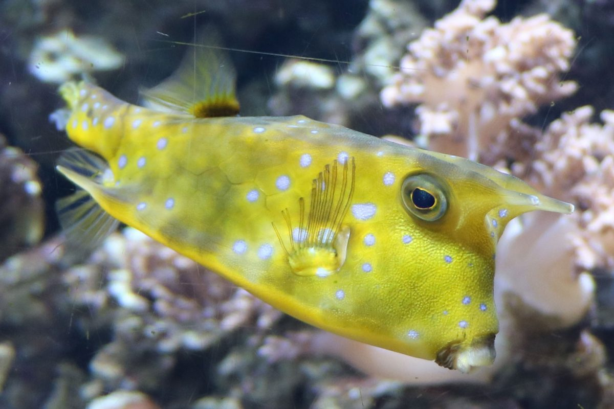 A yellow box fish with two horns on its head and a beak