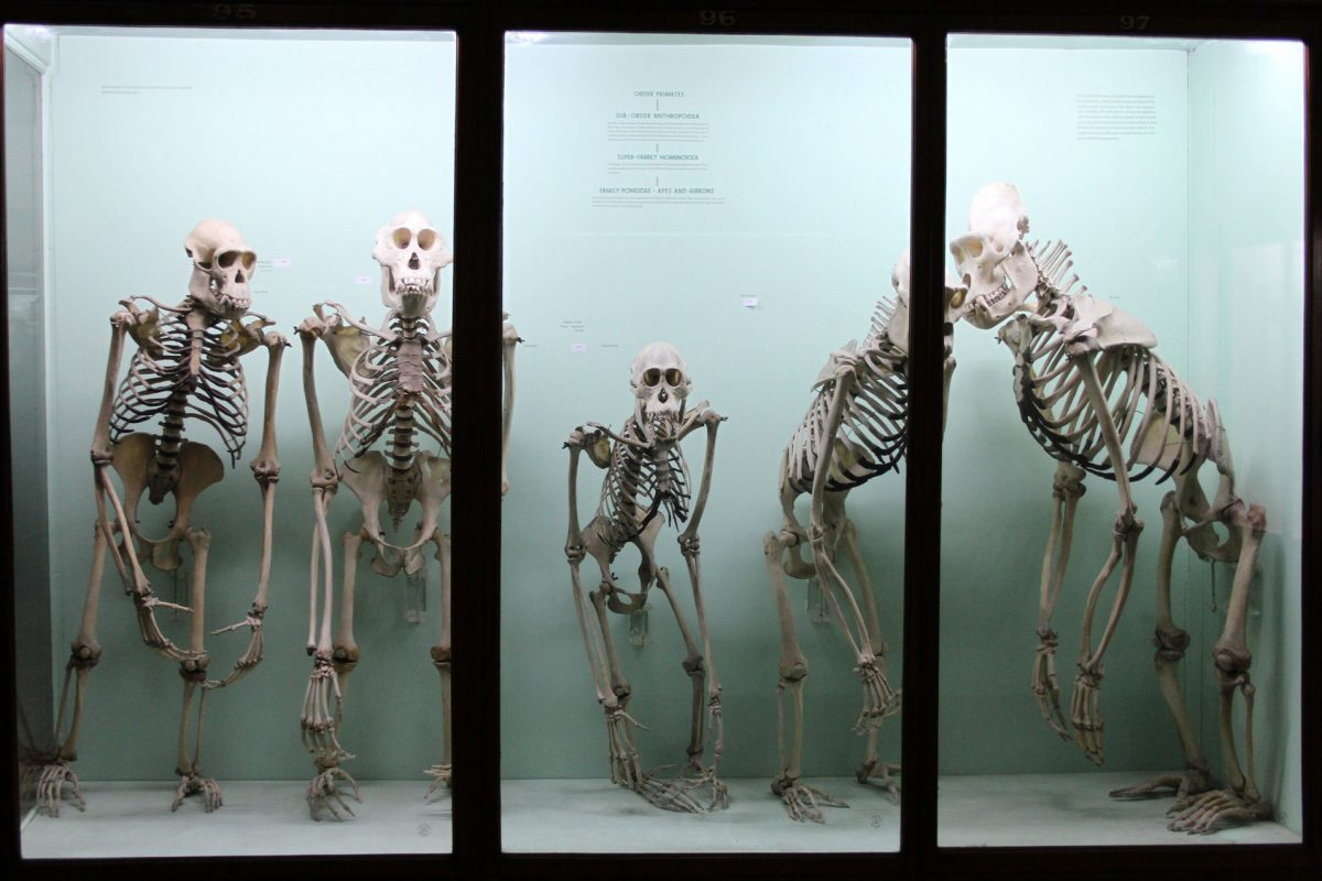 A blue case with five ape skeletons in it, leaning at different angles and positions, but all upright.