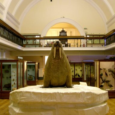 A overly round taxidermy walrus sits on top of a fake iceberg in a gallery with a white curved roof. It is surrounded by cakes of objects and a balcony is seen above with a metal rail.