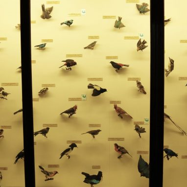 A yellow backed display case with lots of small and brightly coloured stuffed birds inside. They looks like they are on perches. the words Perching Birds appears top left and two wooden strips cut across the display, as part of the case