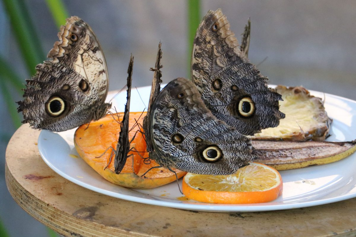 A group of brown butterflies on fruit