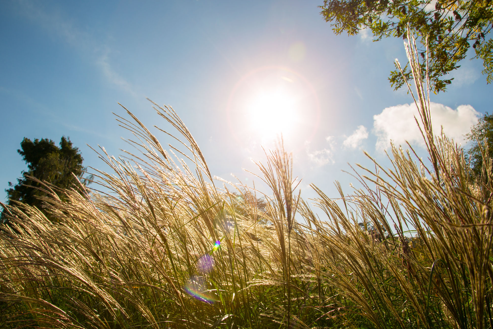 The tops of grasses are golden fronds, blowing in a breeze. Behind them is a blue sky and bright sun.