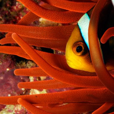 The head of an orange and white fish peeks out of the orange waving arms of an anemone