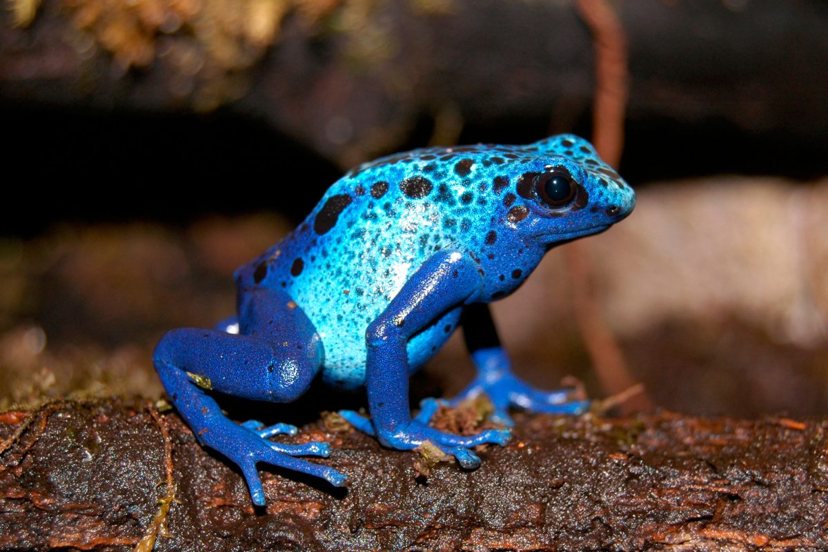 A small vivid blue frog with black spots sits on a log