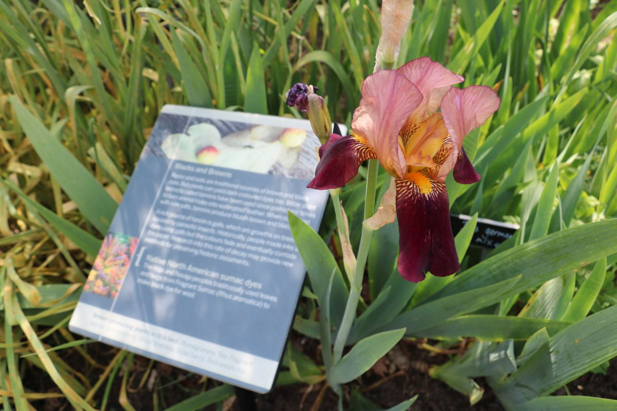 A pink and burgundy iris flower is in full bloom next to an explanatory panel about the plants around it