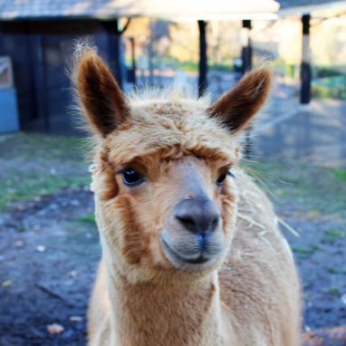 A tan alpaca is looking face on to the camera in a grassy paddock
