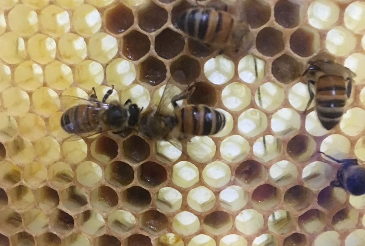 Several bees on honeycomb