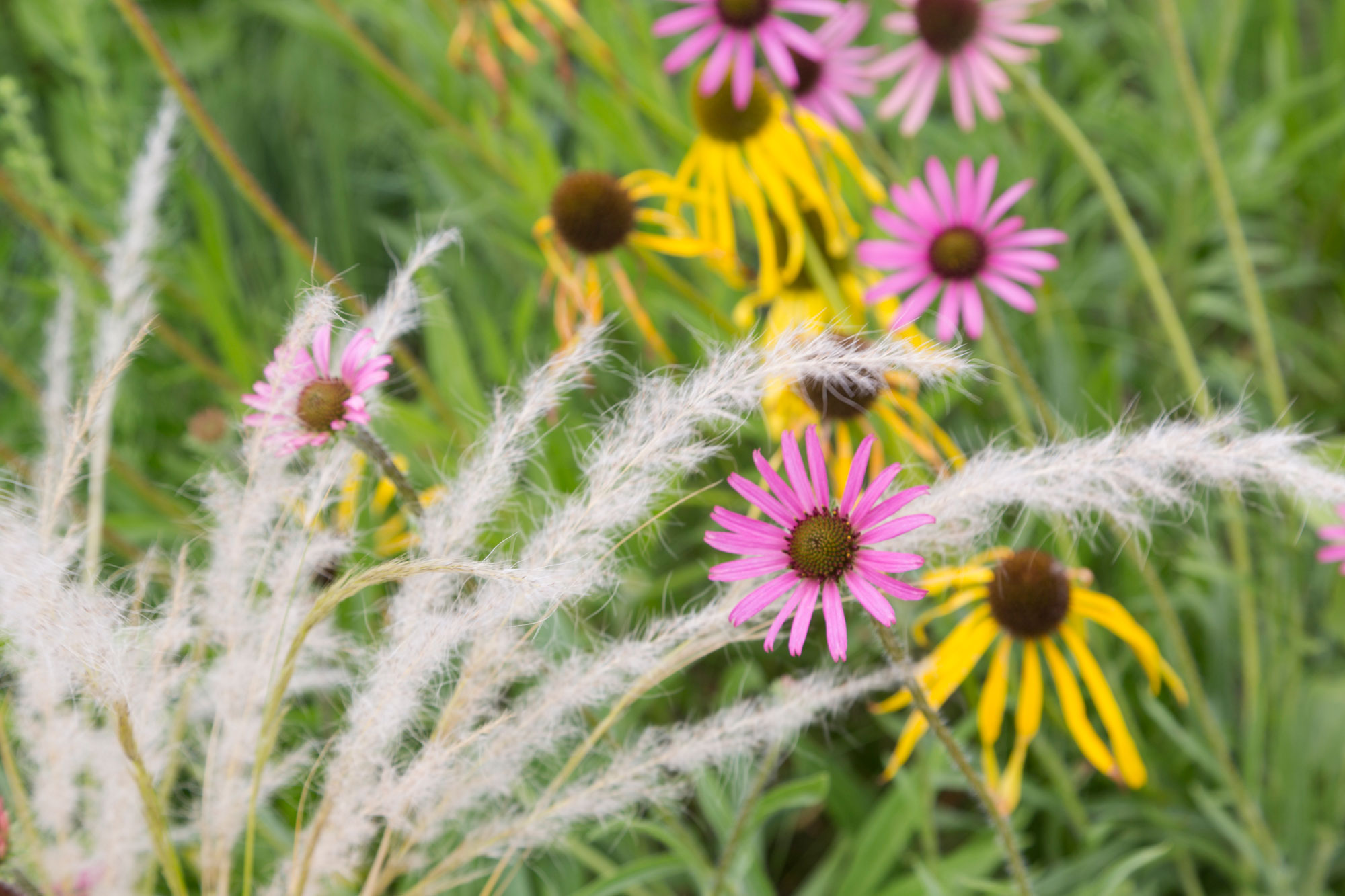 A close up of white grasses in a Garden, with some yellow and pink cone flowers behind it
