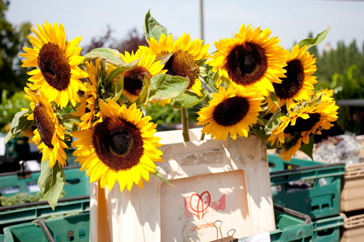 A plastic box filled with big yellow sunflowers