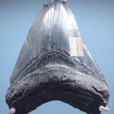 A large black triangular tooth displayed on a blue background