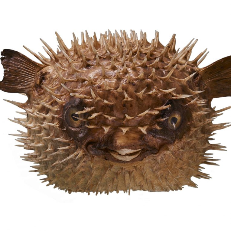 spiky puffed out fish