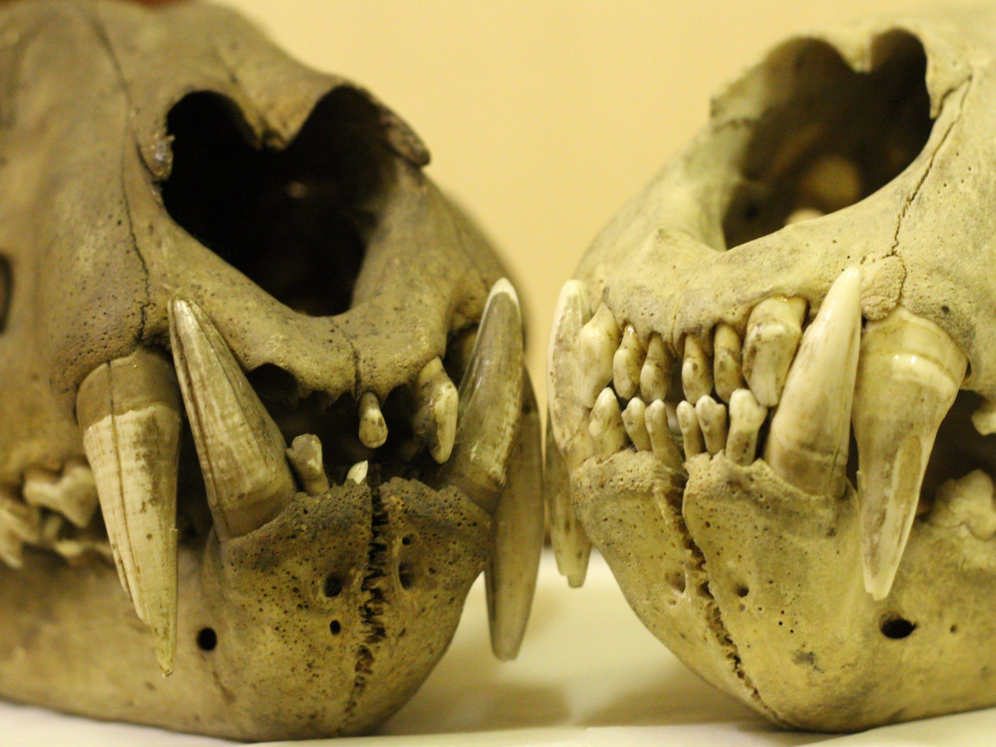 two skulls with their mouths visible only side by side. Both have large teeth