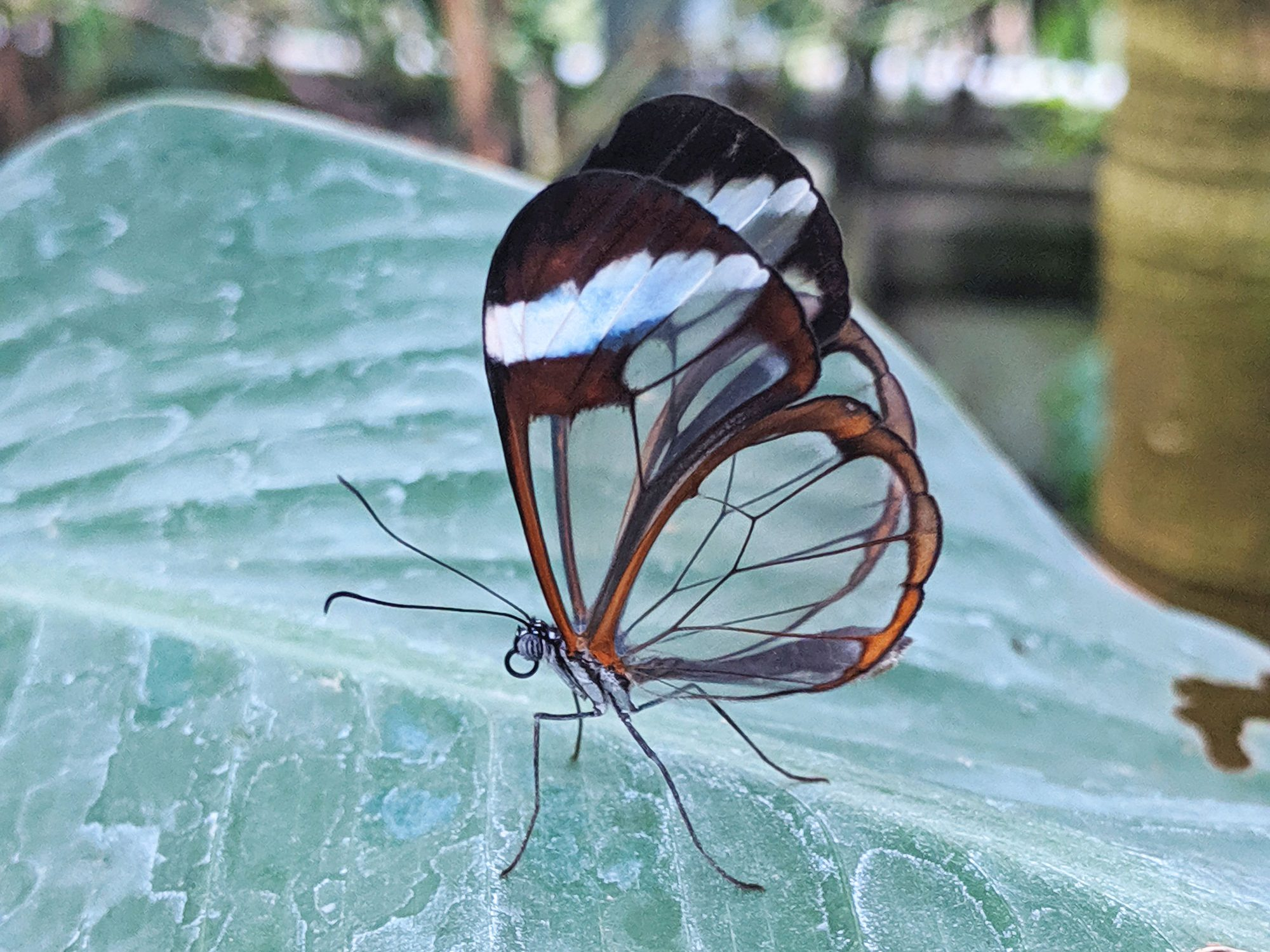A butterfly with see through wings sat on a green water marked leaf.