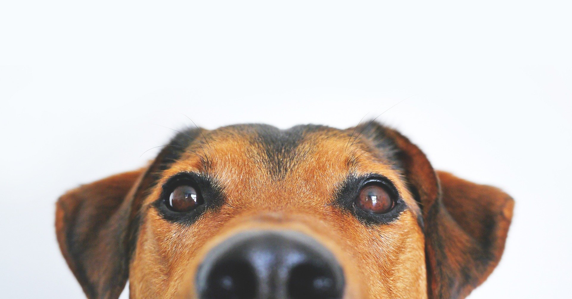 A brown dog is peaking its head up - only the top of the nose, eyes and ears are visible