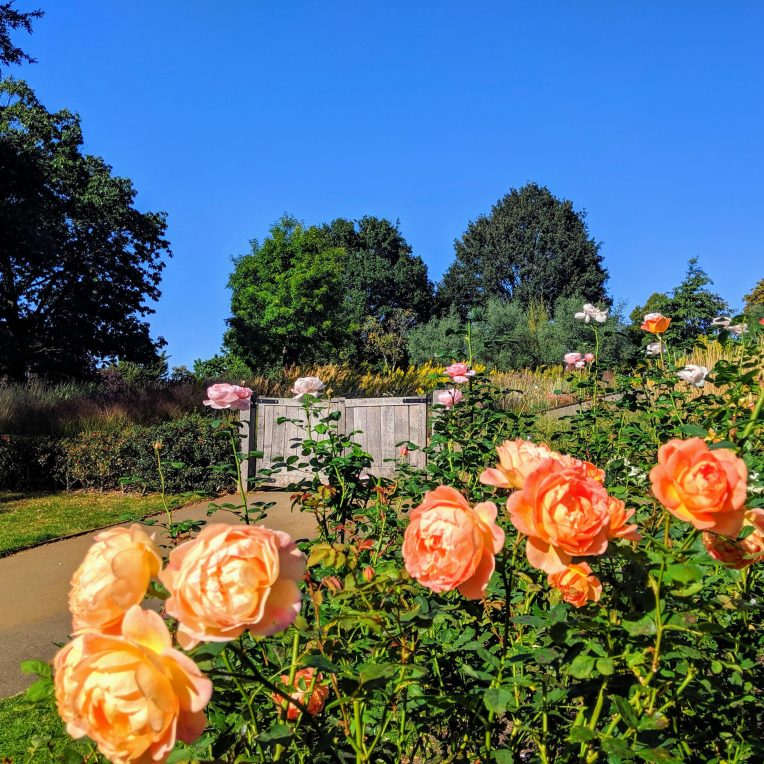 Big blooming peach roses in a flower bed with a path leading to a wooden gate behind them. The sky is blue and there are a few trees in the background