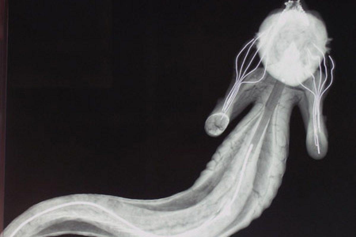 An x-ray of the merman