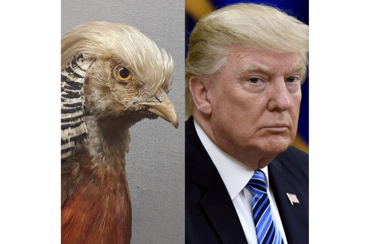 Taxidermy golden pheasant and man with blond hair, Trump