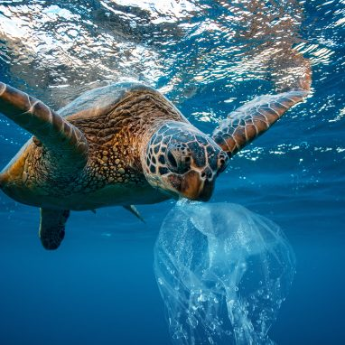 Sea Turtle with plastic bag in its mouth swimming in ocean.
