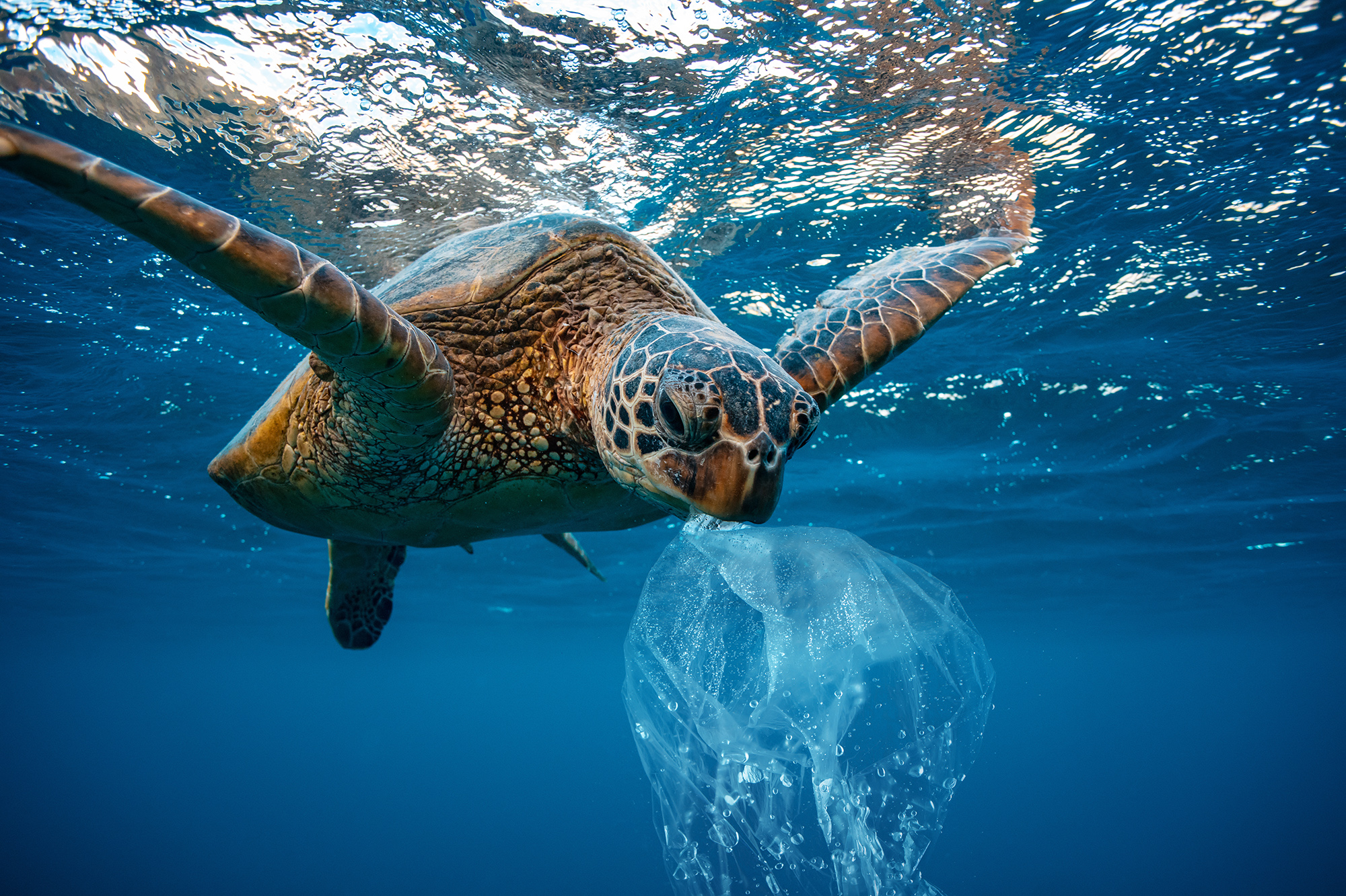 Sea Turtle with plastic bag in its mouth